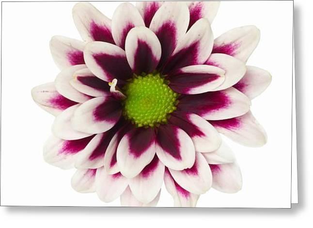 Purple Dahlia Greeting Card by De Beall