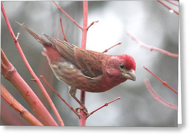 Back Yard Birds Greeting Cards - Purple Finch Greeting Card by Angie Vogel