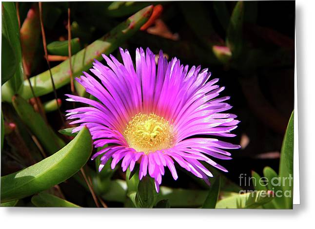 Uci Greeting Cards - Purple Flower on California Coast Greeting Card by Mariola Bitner