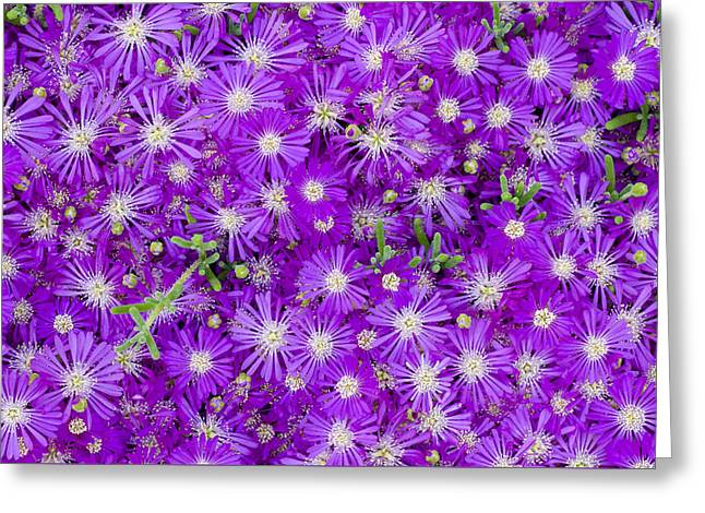 Purples Greeting Cards - Purple Flowers Greeting Card by Frank Tschakert