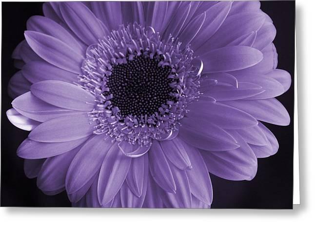 Gerber Greeting Cards - Purple Gerber Greeting Card by David  Hubbs