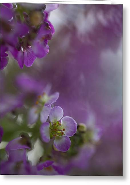 Sue Oconnor Greeting Cards - Purple Haze Greeting Card by Sue OConnor