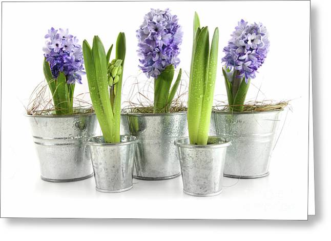 Spring Bulbs Greeting Cards - Purple hyacinths Greeting Card by Sandra Cunningham