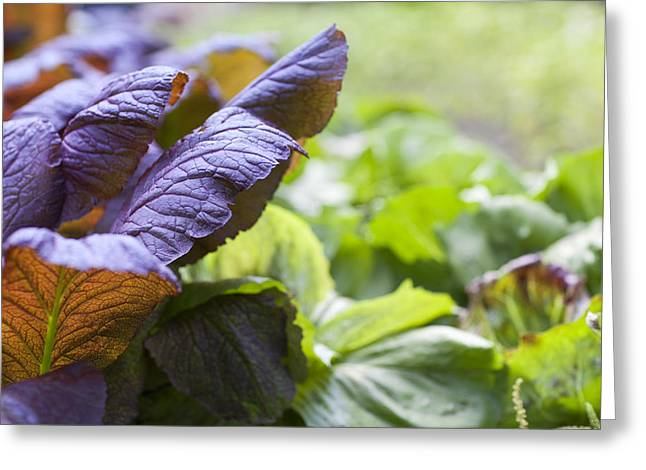 Lettuce Greeting Cards - Purple lettuce Greeting Card by Al Hurley
