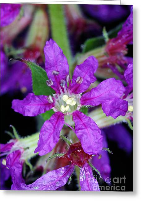 Invasive Species Greeting Cards - Purple Loosestrife Greeting Card by Ted Kinsman