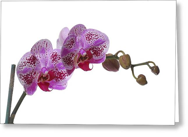 In Full Bloom Greeting Cards - Purple Orchid Greeting Card by Photostock-israel