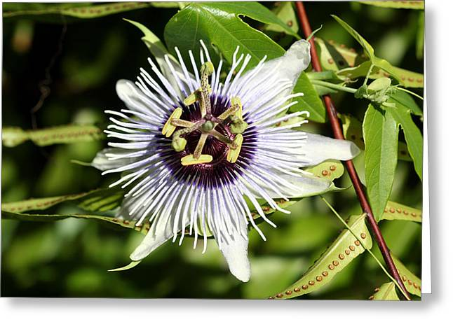Passionflower Greeting Cards - Purple Passionflower Greeting Card by April Wietrecki Green
