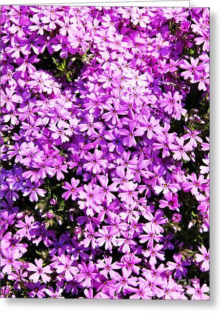 Purple Phlox Greeting Cards - Purple Phlox Greeting Card by Thomas R Fletcher