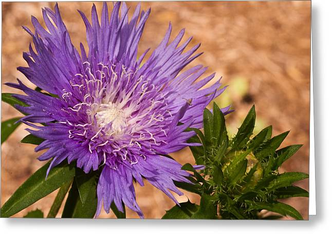 Pincushion Greeting Cards - Purple Pincusion 1 Greeting Card by Douglas Barnett