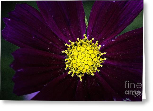 Cris Hayes Greeting Cards - Purple Pollen Greeting Card by Cris Hayes
