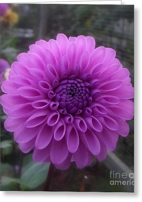 Daliha Greeting Cards - Purple Pom Pom Greeting Card by Lorainek Photographs