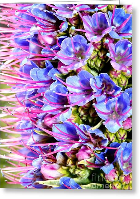 Perrenials Greeting Cards - Purple Pride of Madeira Flowers . 7D14819 Greeting Card by Wingsdomain Art and Photography