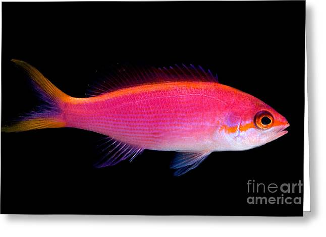 Reef Fish Greeting Cards - Purple Queen Anthias Greeting Card by Danté Fenolio