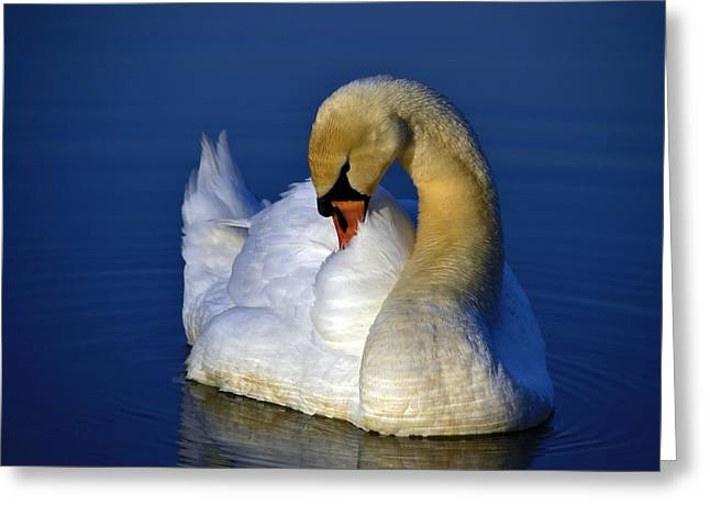 Swans... Greeting Cards - Purple reign Greeting Card by Brian Stevens