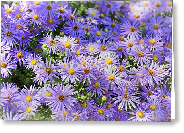 Purple Reigns Greeting Card by Joan Carroll