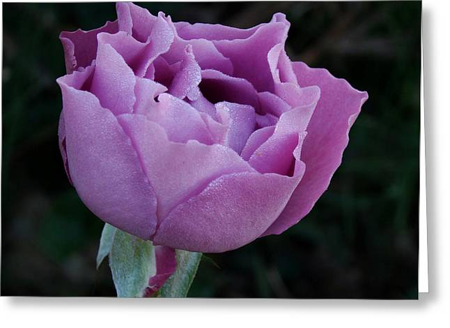 Indiana Flowers Greeting Cards - Purple Rose II Greeting Card by Sandy Keeton