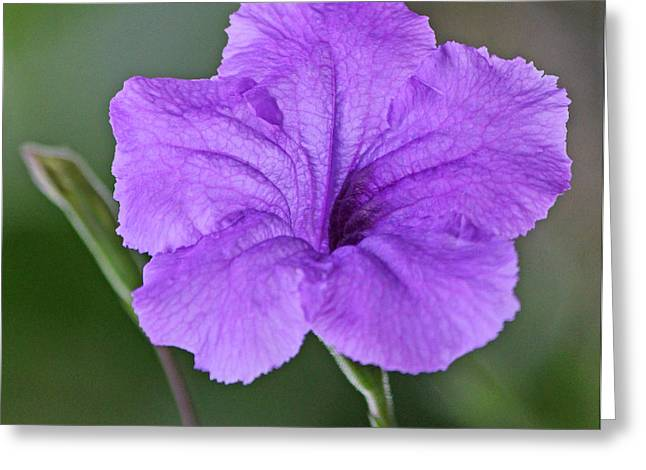 Becky Greeting Cards - Purple ruellia Greeting Card by Becky Lodes