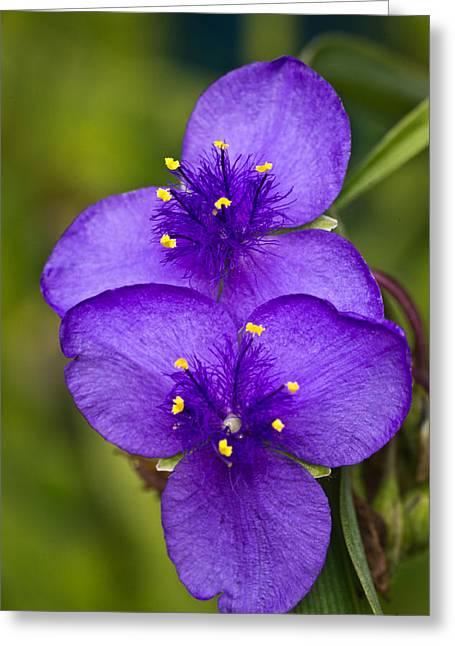 Spiderwort Greeting Cards - Purple Spiderwort 1 Greeting Card by Douglas Barnett