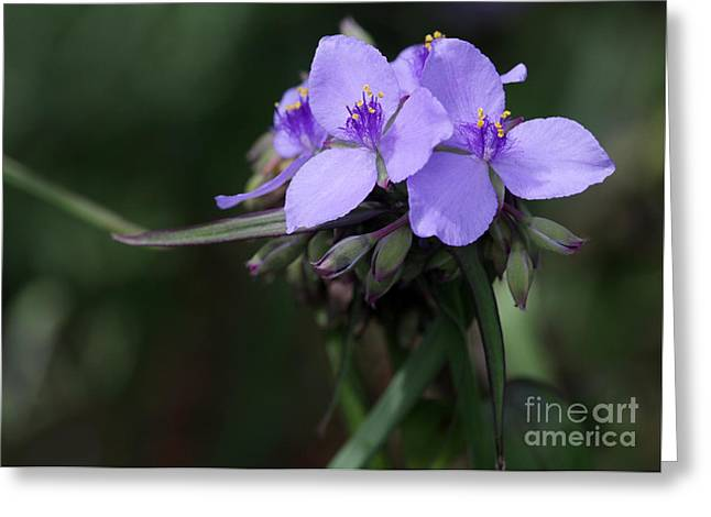 Spiderwort Greeting Cards - Purple Spiderwort Flowers Greeting Card by Sabrina L Ryan