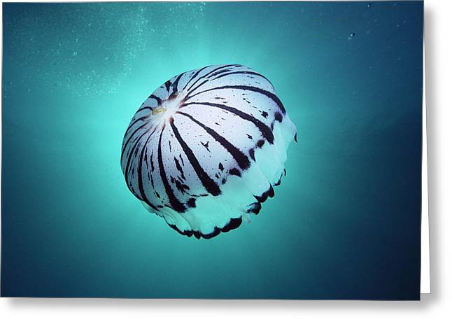 Ai Greeting Cards - Purple-striped Jellyfish Chrysaora Greeting Card by Mark Spencer