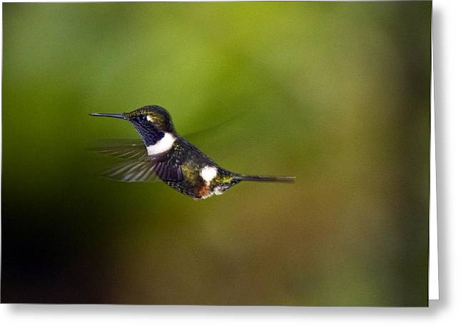 High Altitude Flying Greeting Cards - Purple-throated Woodstar Greeting Card by Bob Gibbons
