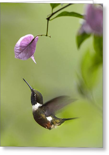 Nyctaginaceae Greeting Cards - Purple Throated Woodstar Hummingbird Greeting Card by Tim Fitzharris