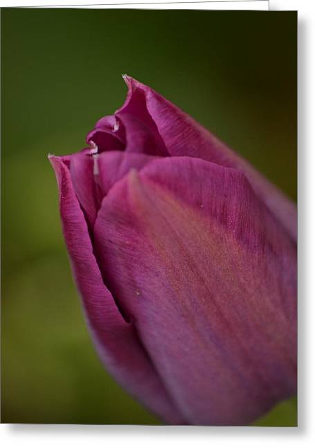 J.d. Grimes Greeting Cards - Purple Tulip Greeting Card by JD Grimes