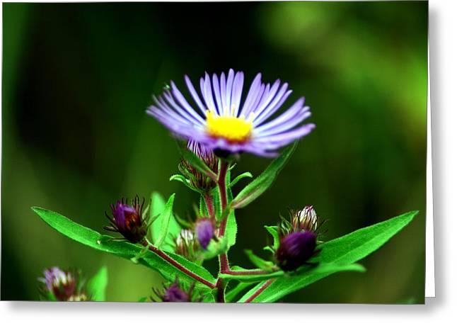 Wild Orchards Greeting Cards - Purple Vine Purple flower Greeting Card by LeeAnn McLaneGoetz McLaneGoetzStudioLLCcom