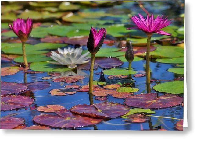 Water Lilly Greeting Cards - Purple Water Lilly Greeting Card by Cindy Fullwiler