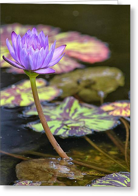 Lilly Pads Greeting Cards - Purple Water Lilly Greeting Card by Lauri Novak