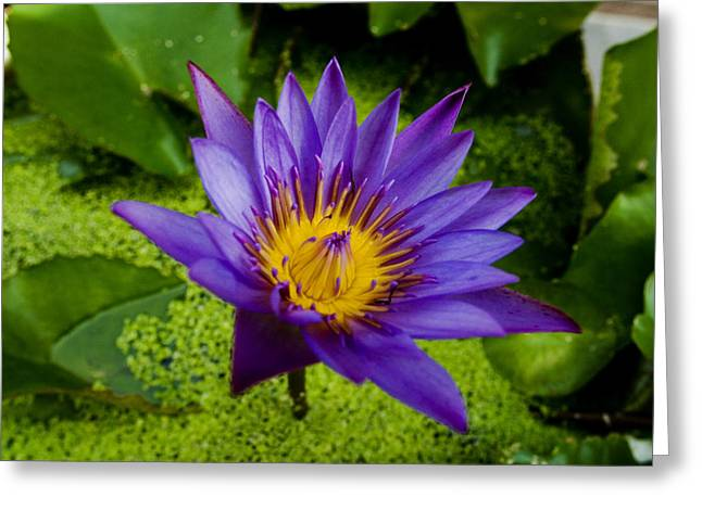 Purple Water Lily Greeting Card by Ray Laskowitz - Printscapes