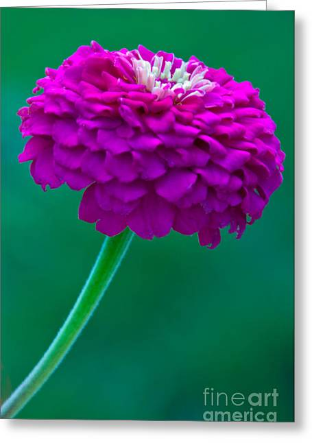 Flower Photo Greeting Cards - Purple Zinnia II Greeting Card by Dana Kern