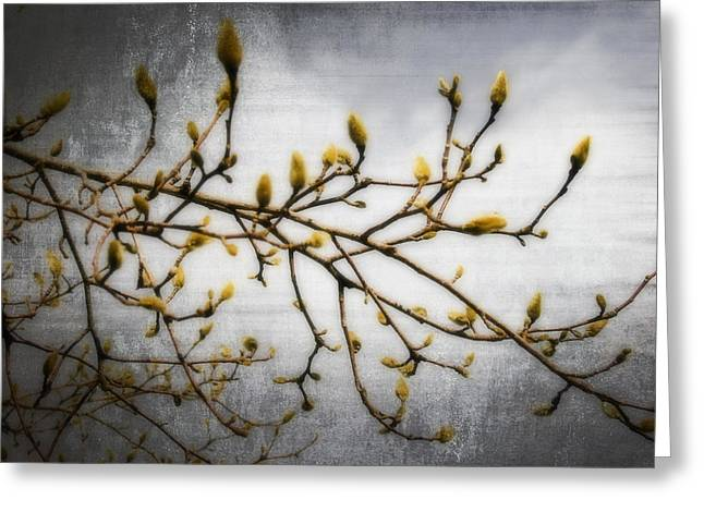 Pussy Willow Branches Greeting Cards - Pussy Willow #1 Greeting Card by Barbara Marie Kraus