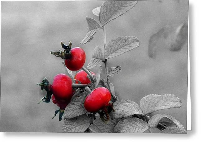 Black Berries Mixed Media Greeting Cards - Pyracantha Red Berries Greeting Card by Ms Judi