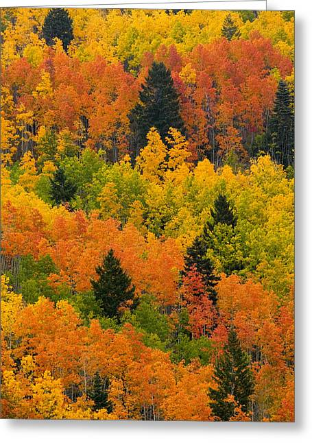 Sangre De Cristo Greeting Cards - Quaking Aspen And Ponderosa Pine Trees Greeting Card by Ralph Lee Hopkins