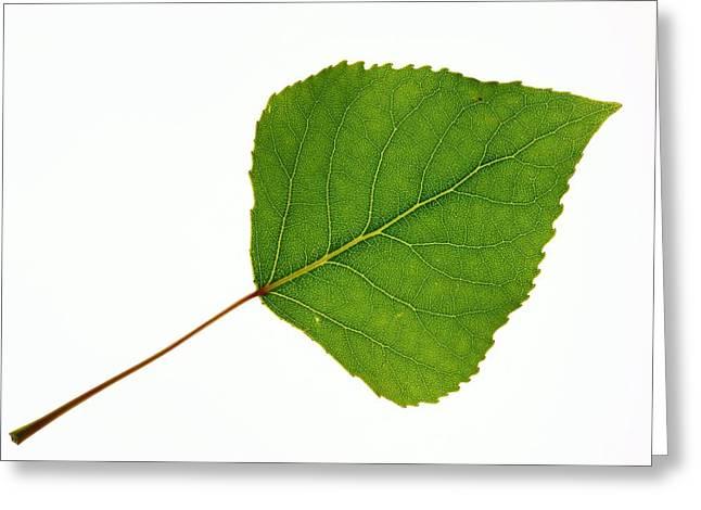 Quaking Aspen Greeting Cards - Quaking Aspen (populus Tremuloides) Leaf Greeting Card by Bjorn Svensson