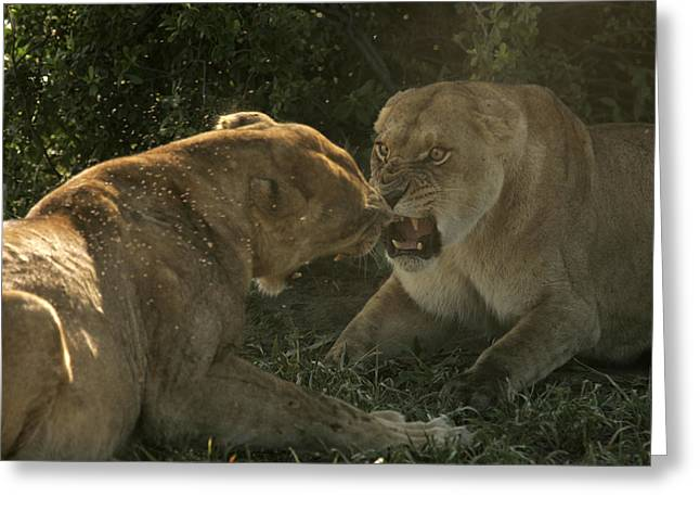Hostility Greeting Cards - Quarreling Female African Lions Greeting Card by Beverly Joubert