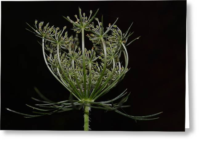 Closing Time Greeting Cards - Queen Annes Lace Closing Time Greeting Card by Amanda Connelly