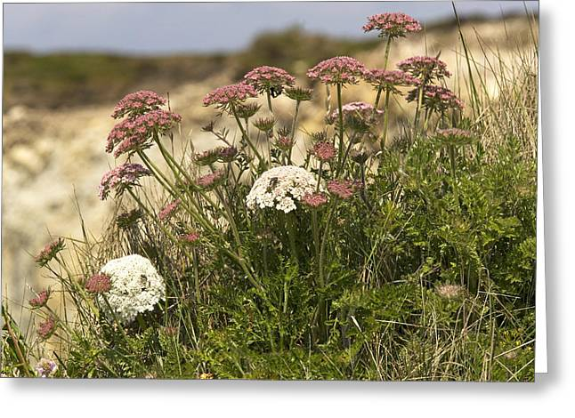 Carota Greeting Cards - Queen Annes Lace (daucus Carota) Greeting Card by Bob Gibbons