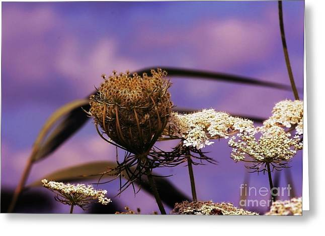 Daucus Greeting Cards - Queen Annes Lace Greeting Card by Marjorie Imbeau