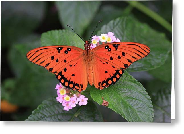 Queen Butterfly Greeting Cards - Queen Butterfly Greeting Card by Rick Berk
