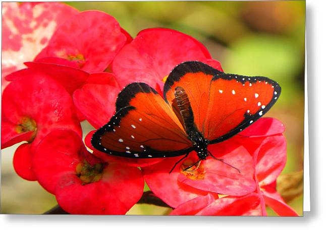 Morph Greeting Cards - Queen Butterfly Greeting Card by Rosalie Scanlon