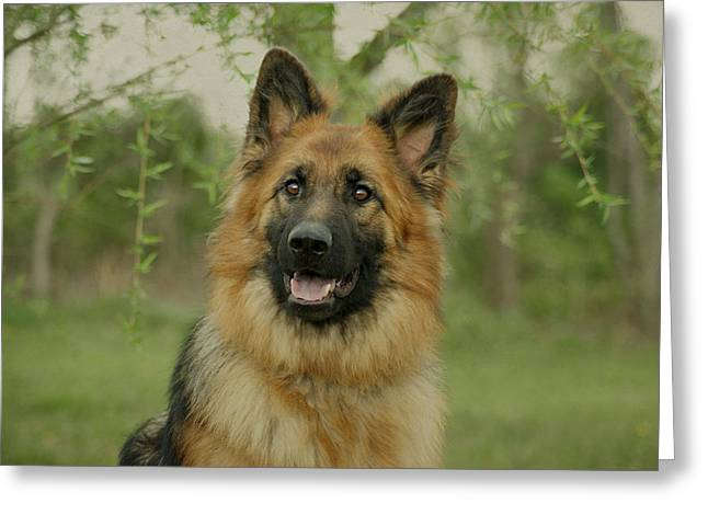 Indiana Art Greeting Cards - Queena - German Shepherd Greeting Card by Sandy Keeton