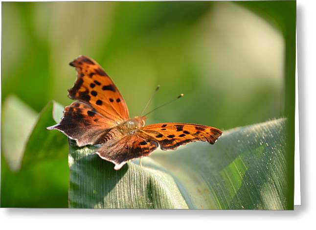 Lepidopterist Greeting Cards - Question Mark Butterfly Greeting Card by JD Grimes