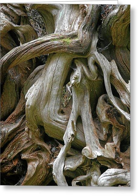 Rainforest Greeting Cards - Quinault Valley Olympic Peninsula WA - Exposed Root Structure of a Giant Tree Greeting Card by Christine Till