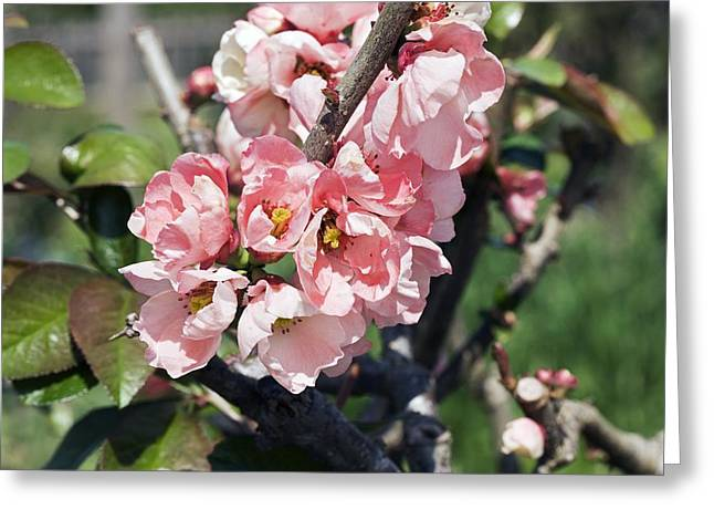 Quince Greeting Cards - Quince (cydonia Oblaonga) Greeting Card by Dr Keith Wheeler