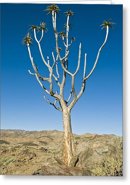 Quiver Tree Greeting Card by Peter Chadwick