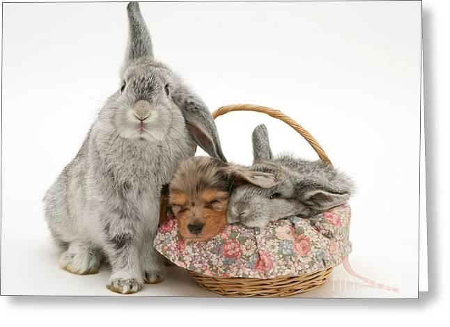 Miniature Dachshund Greeting Cards - Rabbit And Baby With Miniature Dachshund Greeting Card by Jane Burton