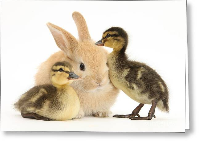 Ducklings Greeting Cards - Rabbit And Ducklings Greeting Card by Mark Taylor