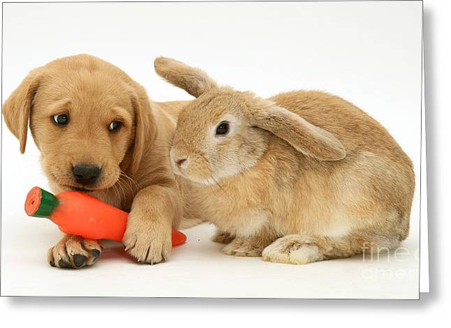 Recently Sold -  - Mixed Labrador Retriever Greeting Cards - Rabbit Watches Pup With Carrot Squeaky Greeting Card by Jane Burton